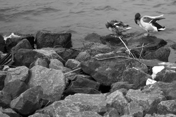 De Overhoekse Plassen: een lekker wild stukje voor heel wat vogels